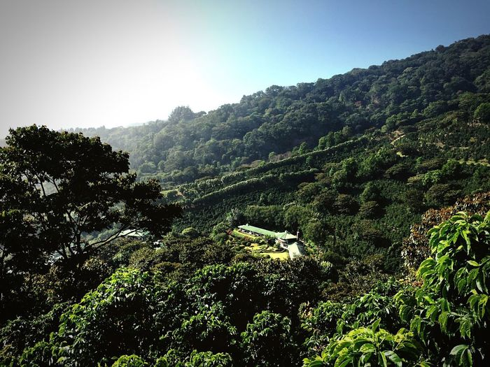 Finca Lerida Coffee Farm Geisha Arabica Coffea Panamá Finca Coffee Plant Tree Growth Beauty In Nature Tranquility Sky Go Higher Green Color Land Landscape Nature Environment Outdoors Forest Sunlight Day Go Higher