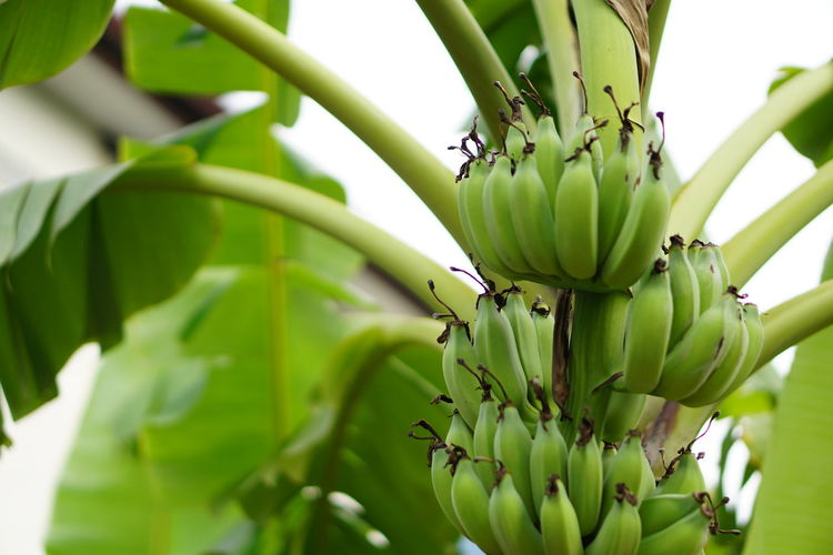 Green Color No People Leaf Nature Plant Close-up Day Beauty In Nature Outdoors Growth Fragility Freshness Art Of Nature Unripe Fruits Young Bananas Unripe Bananas Green Bananas Bananas Banana Tree Banana Green Leaves Healthy Eating Beauty In Nature Food Freshness