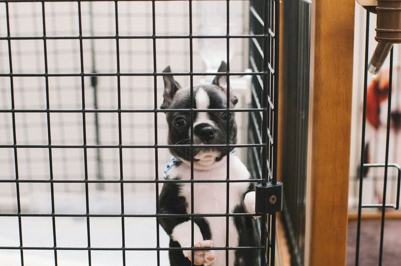 Boston terrier in cage