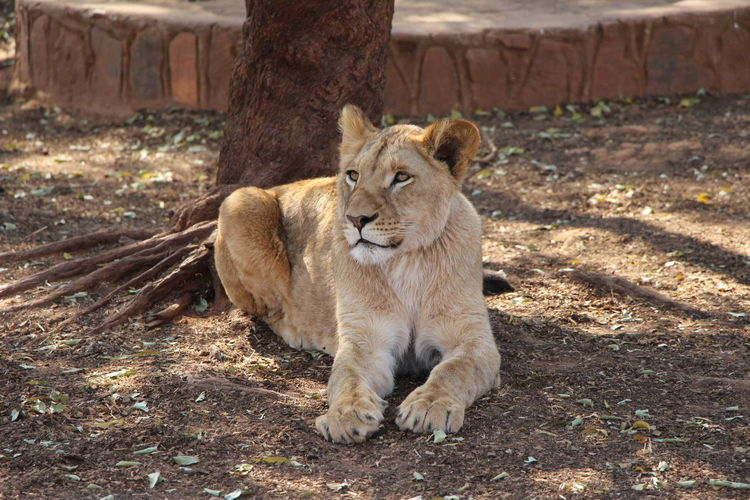 Lioness resting by tree on field