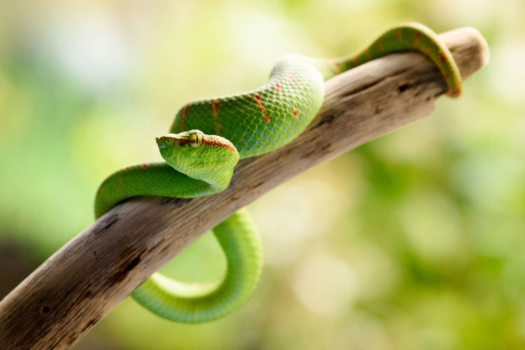 Green Viper on a Dead Tree Branch Nature Snake Venomous Snake Aggressive Animal Animal Wildlife Animals In The Wild Attack Bokeh Branch Close-up Day Focus On Foreground Green Color Nature No People No People, One Animal Outdoors Reptile Venomous Vertebrate Viper  Zoology