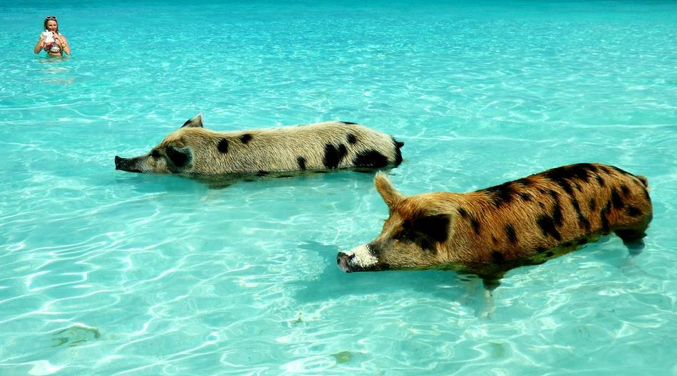 The swimming pigs, Exumas, Bahamas Swimming Pigs Bahamas Bahamas Swimming Pigs Pigs Exumas Beach Swimming Pig Water Animal Themes Waterfront Mammal Animals In The Wild One Animal Animal Wildlife Day Beauty In Nature Animals In The WildSwimming Pool Relaxation Outdoors Swimming Full Length No People Nature Sea Connected By Travel