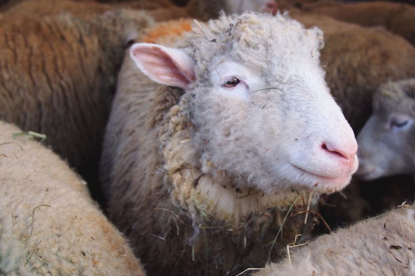 Sheep Farm Animals Farm Farm Life Open Edit