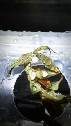 Water Close-up No People Beauty In Nature Samsungphotography Indoors  Beauty Mantis Religiosa Mantis Collections Mantis Pose One Animal Green Color Insect Photography Insects Collection