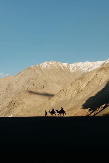 Camel ride silhouettes against snow capped mountains in nubra valley, ladakh, india.