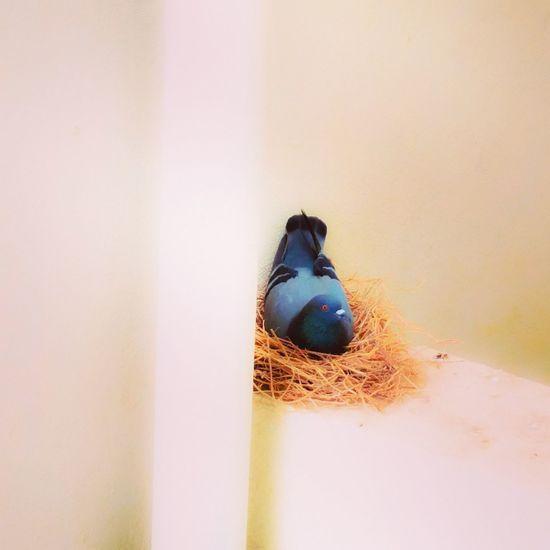 Femalepigeon Bird BreedingTime Pigeon Bird  Pigeon Beautifulcreatures