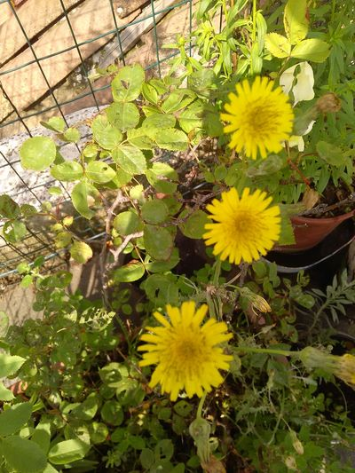 my garden 🌿 Flower Flower Head Yellow High Angle View Close-up Plant Green Color