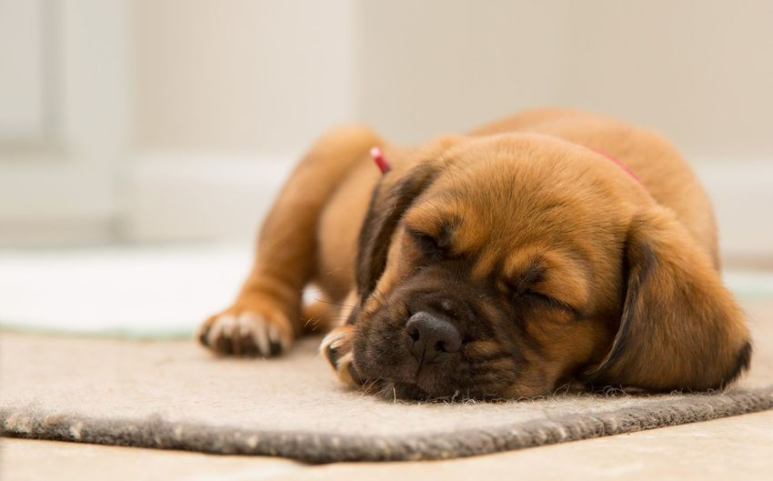 Close-up of cute puppy sleeping on doormat at home