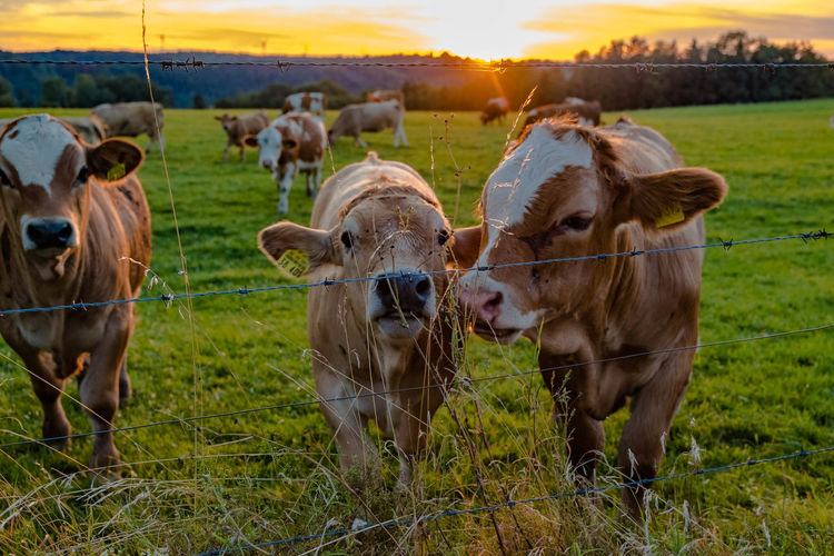 Cows grazing in field during sunset