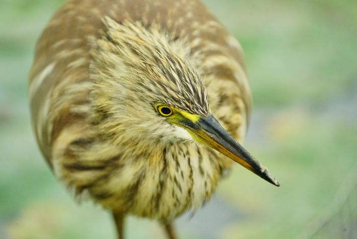 SEL70200F4G Sony A7RII Shatin Hong Kong Chinese Pond Heron One Animal Bird Animal Themes Animals In The Wild Animal Wildlife Focus On Foreground Beak Close-up Nature Outdoors No People Day