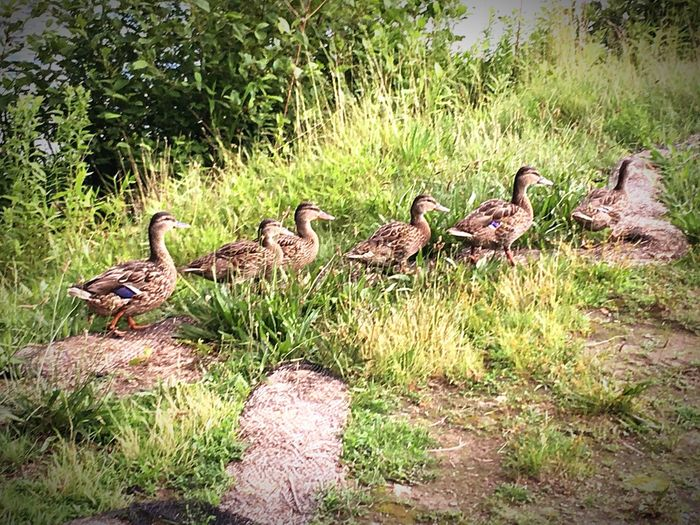 Follow the Leader Group Of Animals Animal Themes Animal Animal Wildlife Vertebrate Bird Animals In The Wild No People Nature Green Color Day Medium Group Of Animals Togetherness Duck Land Young Animal Grass Plant