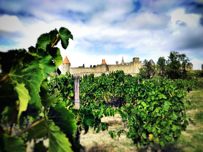 The vineyards of Carcassonne Architecture Beauty In Nature Building Exterior Built Structure Castle Cloud - Sky Day Grapes Green Color Growth Low Angle View Lumicar Medieval City Nature No People Outdoors Plant Scenics Sky Tranquility Tree Vineyards