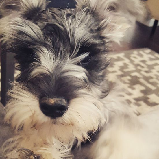 Pets Domestic Animals Animal Themes Mammal Dog One Animal Relaxation Indoors  Portrait Close-up No People Day @RolsenStudios Puppy❤ Puppy Face Puppy Love ❤ Schnauzerlove Schnauzers Schnauzer