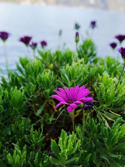 Purple Italy