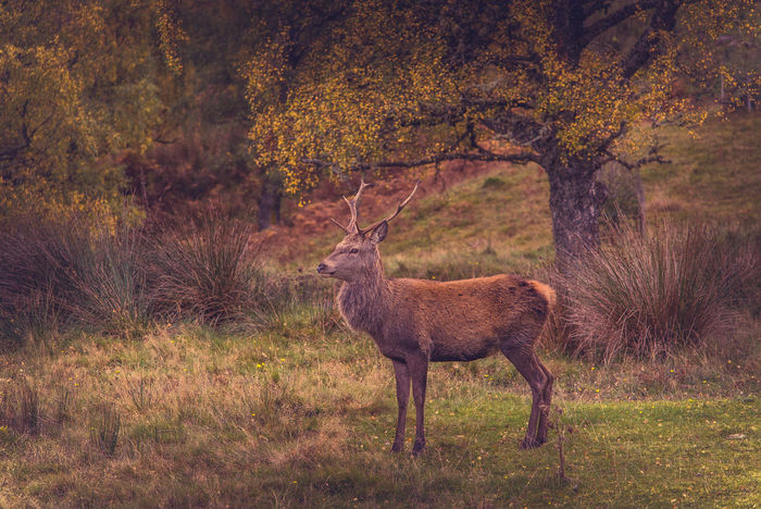 Deer Scotland Animal Themes Animal Wildlife Antler Autumn Beauty In Nature Day Deer Grass Mammal Nature No People Outdoors Sika Deer Stag Tree