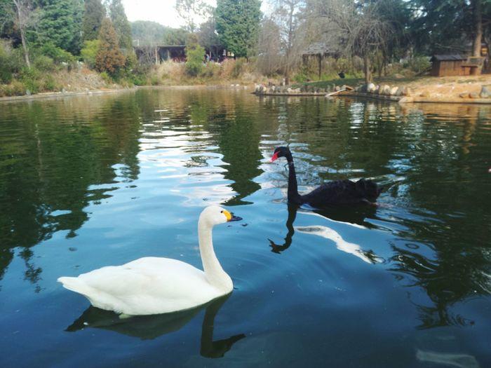 白天鹅与黑天鹅 Animals