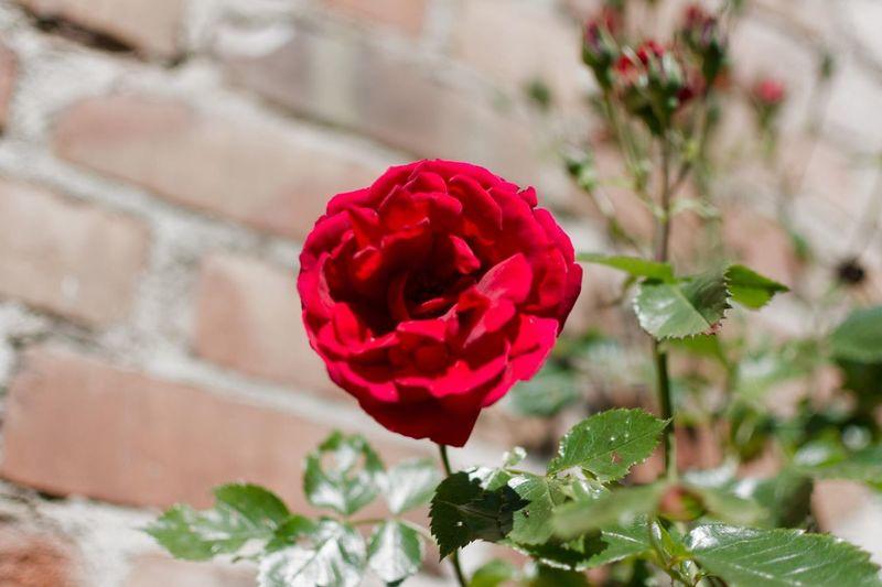 Snapshot http://www.rhme.de/snapshot Nikon Colorful Red Roses