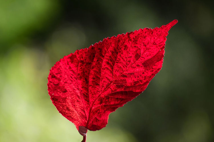 Close-up of red leaf on plant