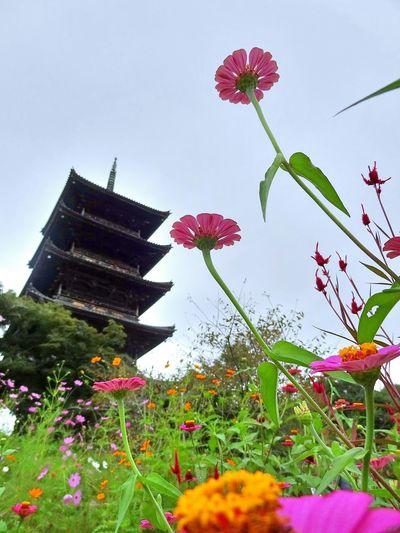 Flowers コスモス Cosmos 備中国分寺 五重塔