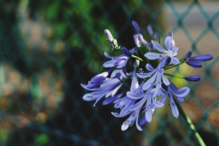 Canonphotography Canon Canon 50mm F1.8 ıı Flower Head Flower Water Petal Purple Close-up Plant In Bloom