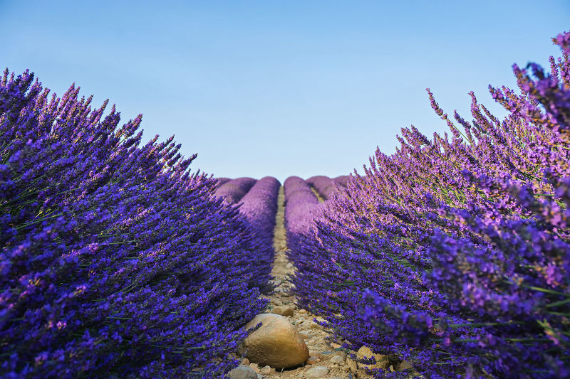 View of lavender flowers against sky