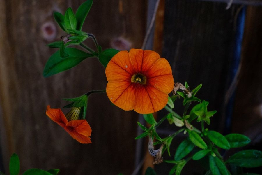 Plant Growth Plant Part Orange Color Leaf Freshness Close-up Beauty In Nature Flowering Plant Flower Petal Focus On Foreground Flower Head