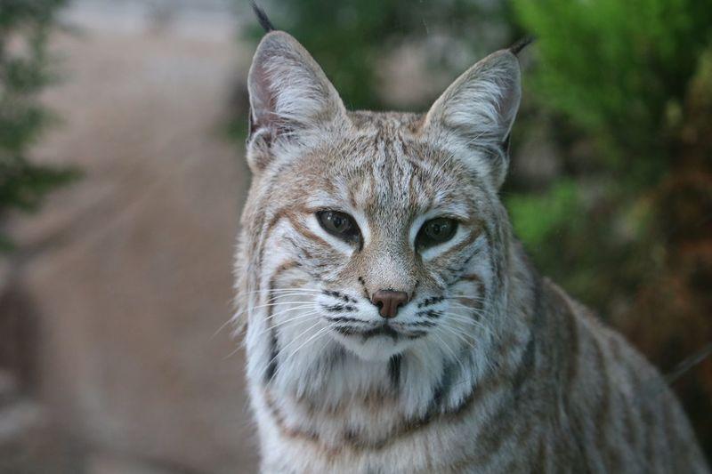 Bobcat Wildcat
