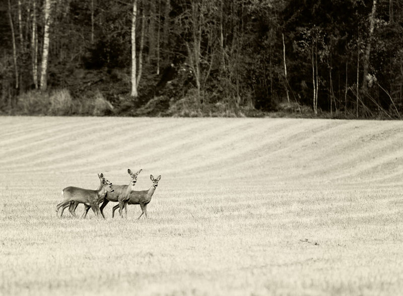 Roe Deers in field Animal Themes Animal Wildlife Animals In The Wild Day Deers Field Forest Grass Landscape Mammal Nature No People Outdoors Roe Deer Tree