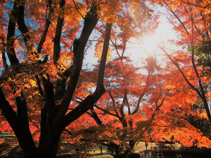 Autumn Beauty In Nature Branch Change Coloring Day Growth Leaf Low Angle View Maple Maple Leaf Maple Leaves Maple Tree Nature No People Orange Color Outdoors Red Color Scenics Sky Sunlight Tree Yellow Color