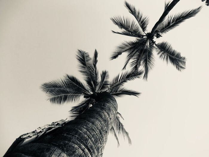 Palm Tree Tree Low Angle View Tree Trunk Clear Sky Nature Palm Frond Beauty In Nature Growth Sky Outdoors No People Day Close-up Black And White Friday