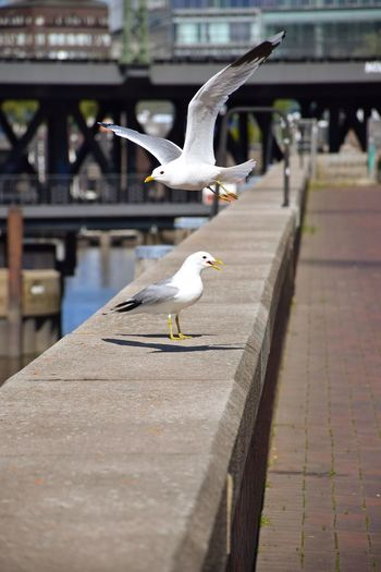 Birds Day Sunlight Sunshine ☀ Outdoor Photography Animal Wildlife Animal Photography Animal Representation Animal Spread Wings Flying City Animal Themes Sea Bird Seagull Flapping Animal Wing Beak
