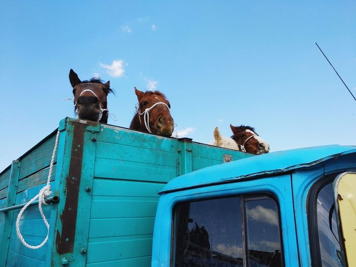 Low Angle View Of Horses In Truck Against Blue Sky