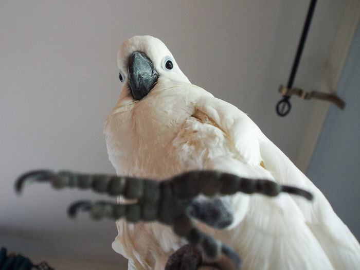 Clara the cockatoo Cockatoo Low Angle View Animal Themes Bird Close-up Day Domestic Animals Exotic Pets No People One Animal Perching Reaching Out Talons White Color