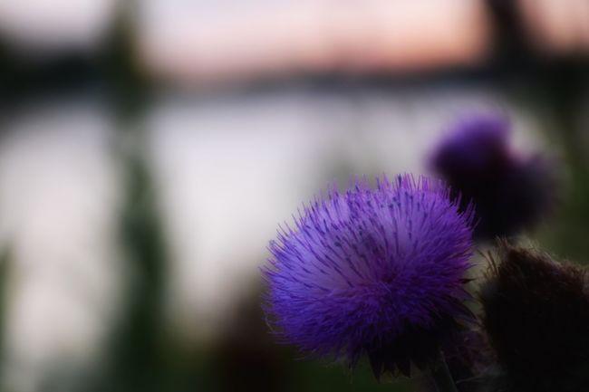 Violet riverside ... Thistle Sioux City Missouri River Sunset