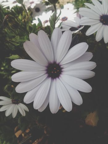 Flower Petal Beauty In Nature Flower Head Nature White Color Manzara Dediğin  Yoldangeçerken Fragility Osteospermum Growth Freshness Blooming Day No People Plant Pollen Close-up Outdoors