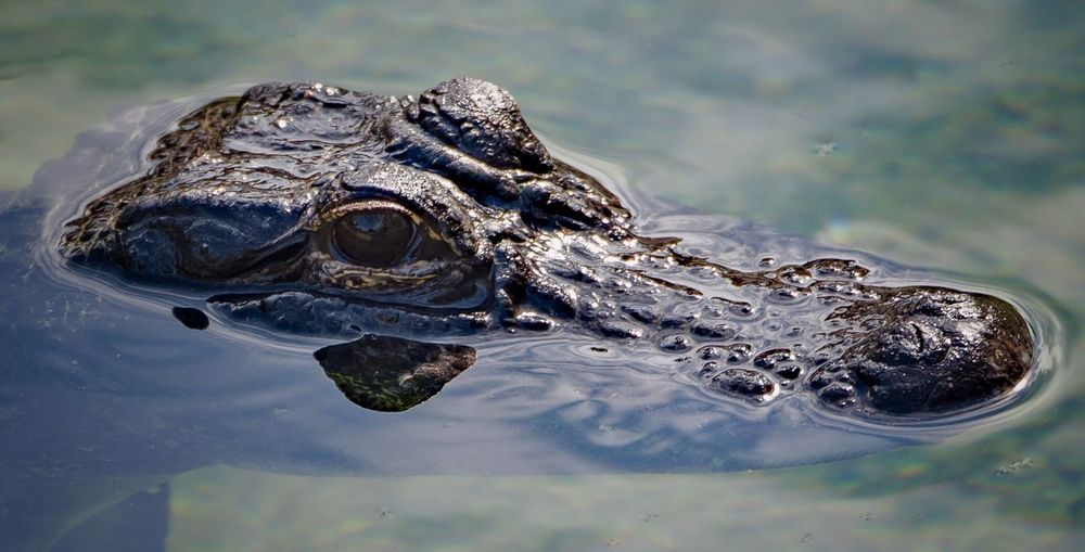 Close-up of alligator swimming in lake