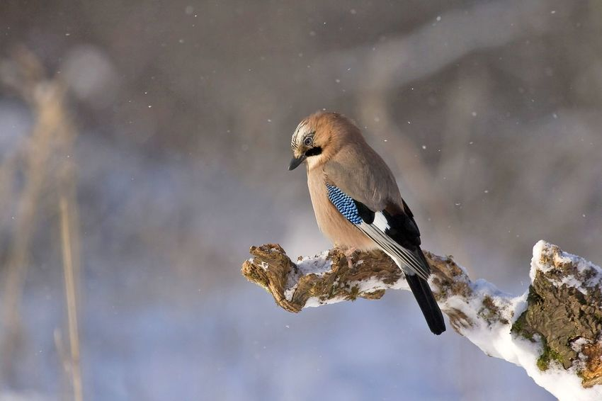 Animal Themes Animal Wildlife Animals In The Wild Beauty In Nature Bird Close-up Day Mourning Dove Nature No People One Animal Outdoors Perching Snowing