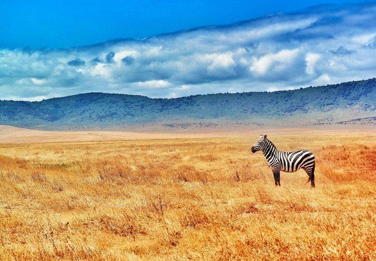 Zebra On Grassy Field