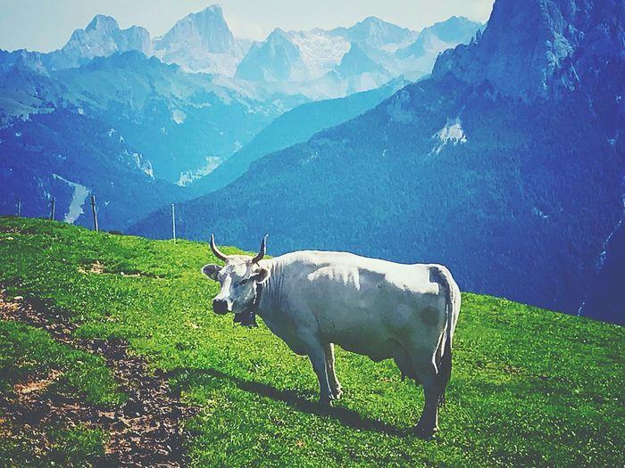 Mountain Mammal Animal Themes Animal Livestock Domestic Animals Cattle Land Pets One Animal Mountain Range Nature Grass Landscape