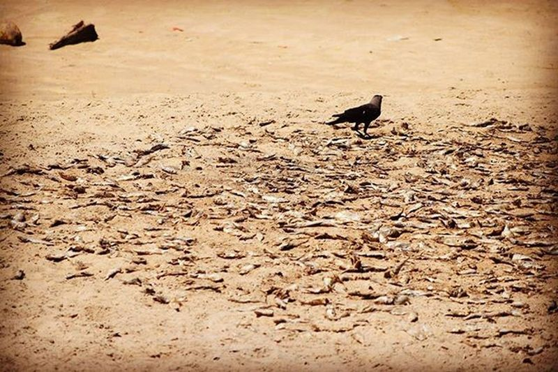 Bird feeding on dried fish(sukhua) on the seashore.. Driedfish Sukhua Odishafood Summertime
