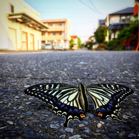Butterfly - Insect Insect Butterfly Swallowtail Butterfly Swallowtail Papillon Butterfly Bug Morning Early Morning 蝶々 蝶 アゲハ アゲハ蝶 虫 昆虫 Street Photography Street
