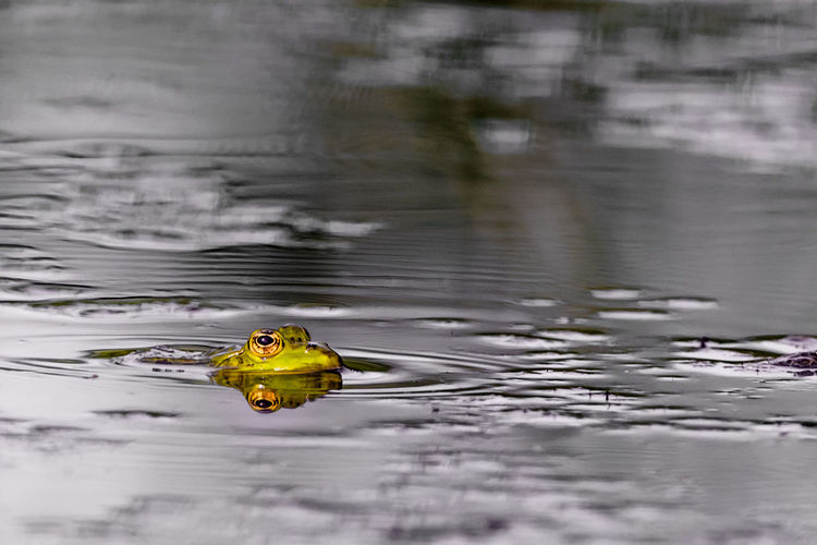 frog Water