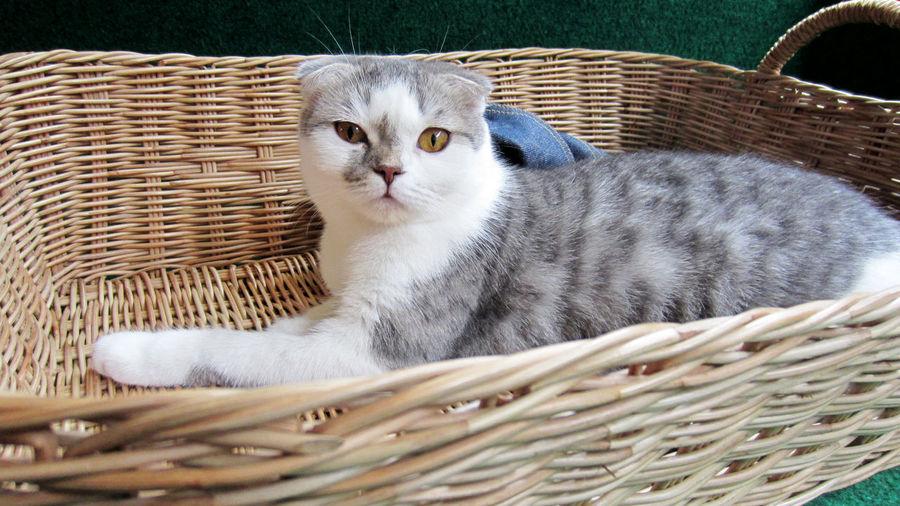 Basket Cat Cute