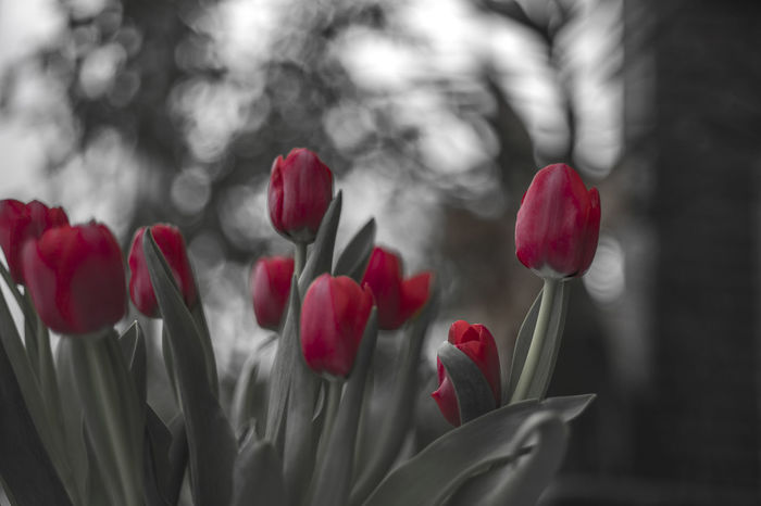 Bubbles Canon FD 50mm F/1.8 Beauty In Nature Bildfolge Blooming Close-up Day depth of field Dof Flower Flower Head Focus On Foreground Fragility Freshness Growth Nature No People Outdoors Petal Photography Plant Red Spring Tulip Vintage Lens
