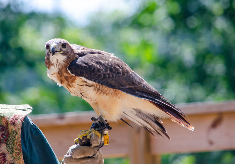 Falcon resting on a handlers gloved hand at a bird show