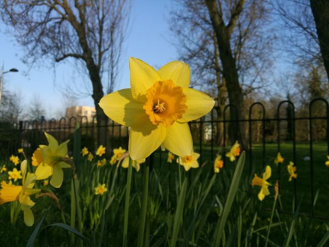 Daffodil Yellow Flower Nature Beauty In Nature Flower Head Close-up Sunny Spring Day Smartphonephotography Sunny Day☀ Yellow Blue Green Yellow Flower Yellow Flowers Smartphone Photography