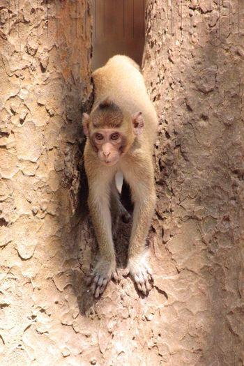 Affe Monkey in