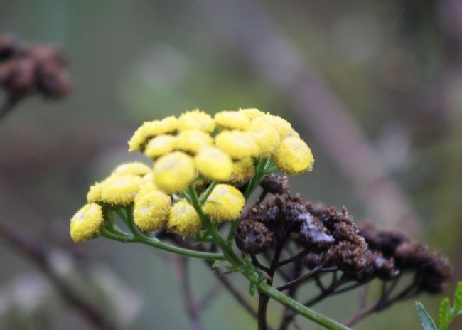 Close-up of Tansy flowers in bloom in vegetable garden Autumn Field Tansy Soft Alternative Medicine Aromatic Beauty In Nature Blooming Blur Botanic Close-up Floral Flower Flower Head Focus On Foreground Fragility Freshness Garden Growth Macro Nature No People Outdoors Plant Yellow