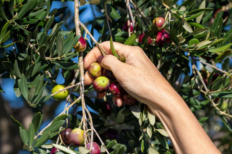 Ripe olives picking in pakostane, croatia