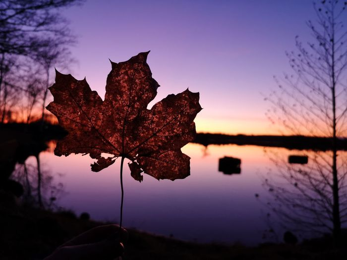 Close-up of maple leaf on lake against sky during sunset